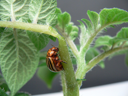 Colorado potato beetle feeding on a potato plant- The Latest Science