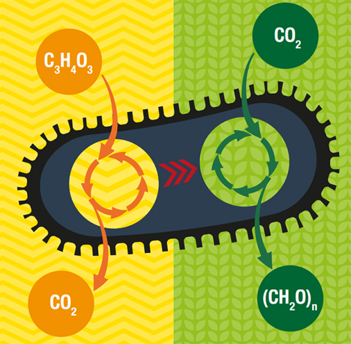 The engineered E. coli can transform CO2 into sugars- The Latest Science